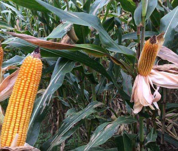 Natura e Alimenta Product corn 1